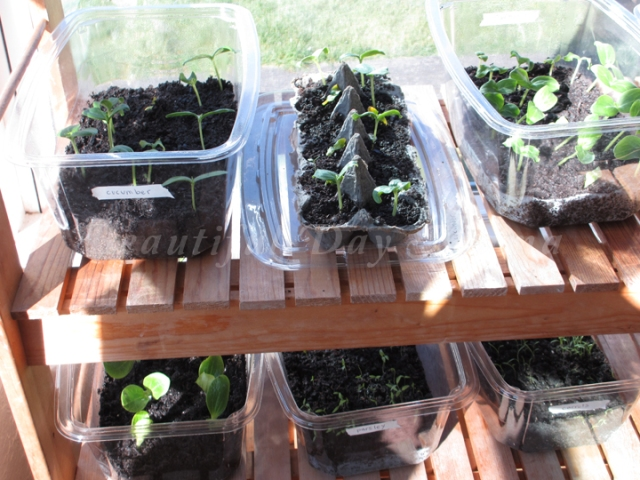 new sprouts growing in containers in the sunshine